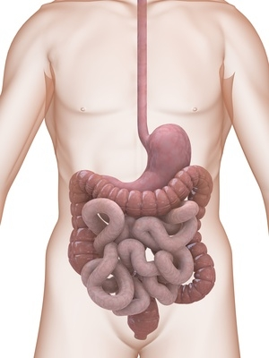 Magen & Dünndarm | Stomach & Small Intestine